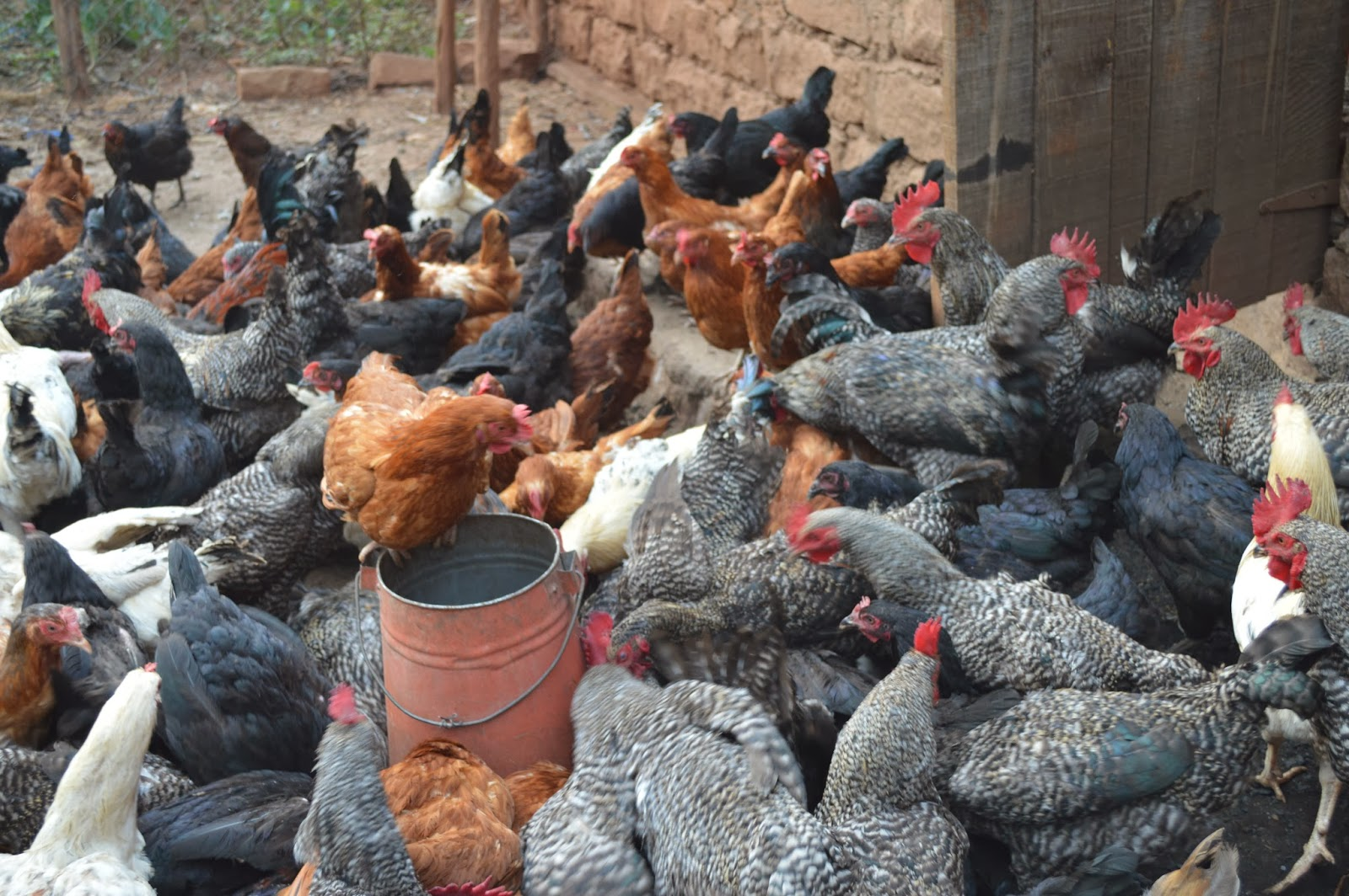 KARI Kienyeji chicken Farming - Ecochicks Poultry Ltd