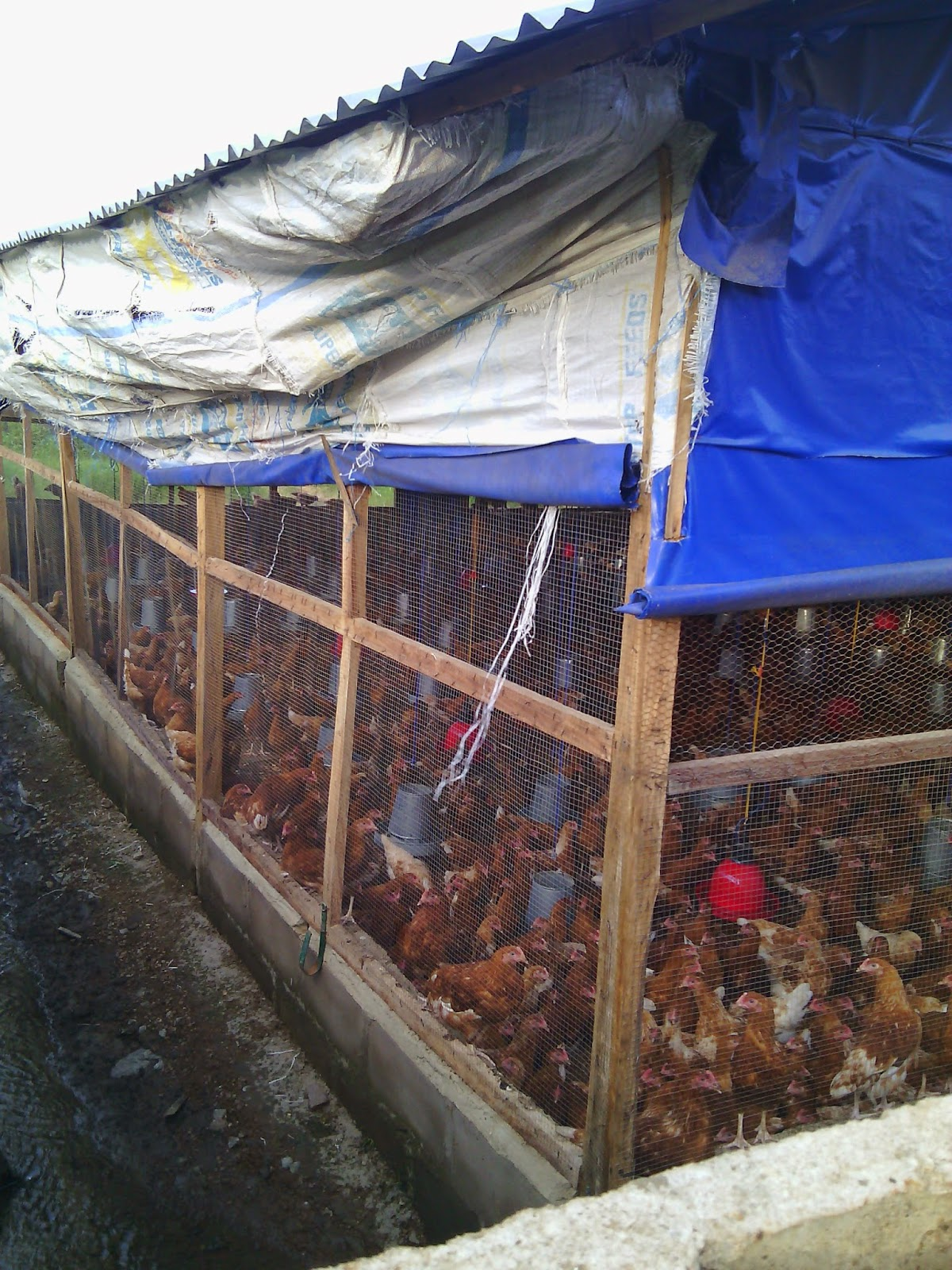 A 1000 layers poultry farm