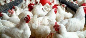 how to raise chicken