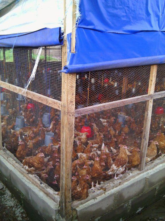 Poultry farming in Kenya
