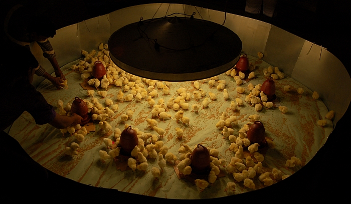 Management Of Chicks In The Brooder From 0 8 Weeks